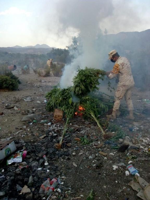 Soldado destruye plantas de mariguana al sur de Ensenada