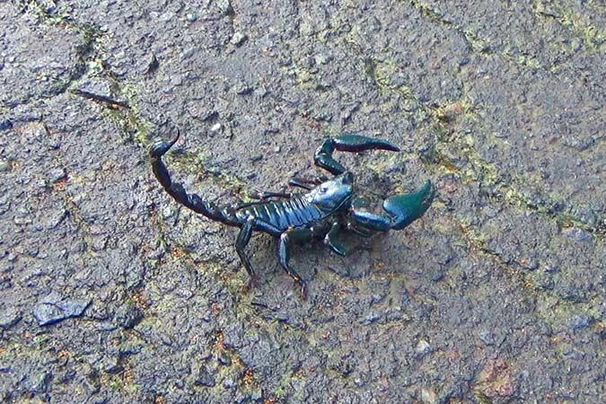 Dlium Bandor giant scorpion (Heterometrus cyaneus)