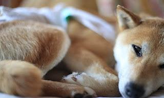 cães com mobilidade reduzida nas patas traseiras