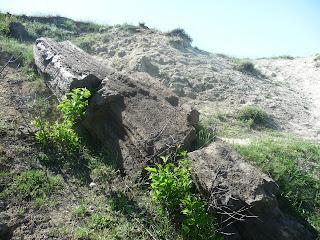 Олексієво-Дружківка. Зкам'янілі араукарії