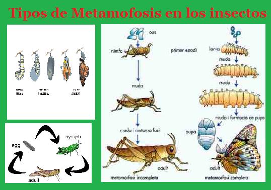 Tipos de Metamofosis en los insectos