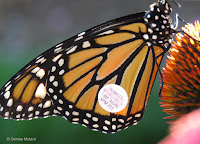 Monarch female with tag XPM 251 - © Denise Motard