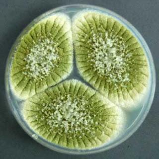 jamur Aspergillus flavus dalam cawan petri