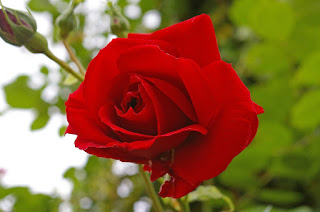 red-rose-845927_1920.jpg