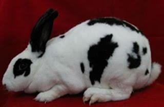 jenis kelinci pedaging