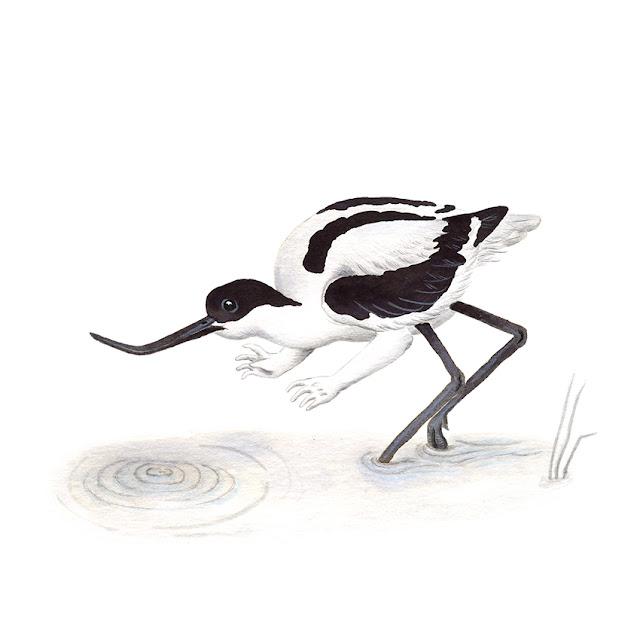 ilustración de pájaros, avoceta, aves de la albufera, recurvirostra avosetta, ilustración de aves, aves acuáticas, Inktober, Inktober 2017,