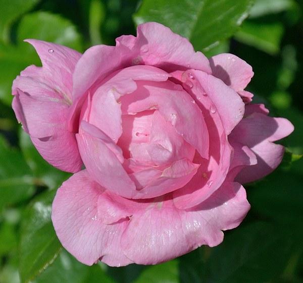 Chantal Merieux сорт розы фото саженцы Минск купить