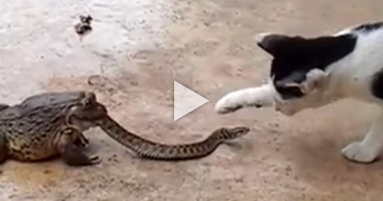 Intense three way fight between a frog, snake and cat