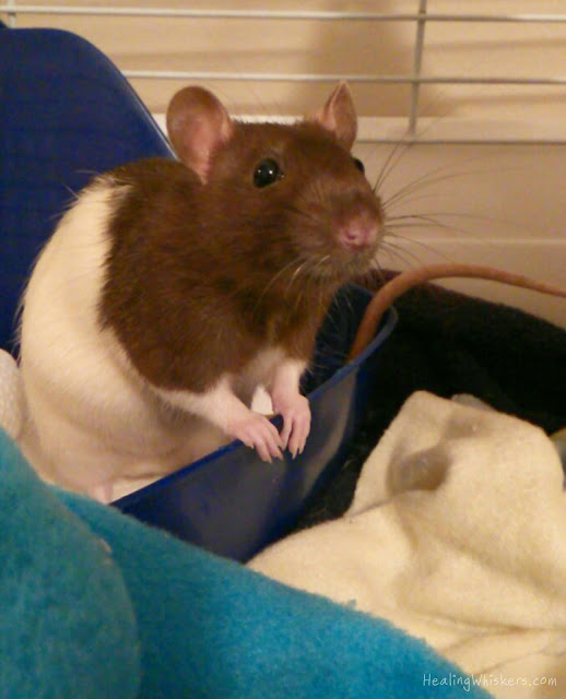 Kingston the Rescue Rat in his new home