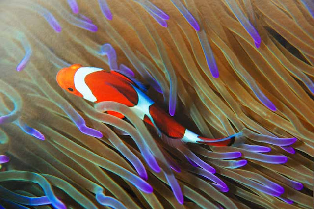 clownfish, underwater, photo
