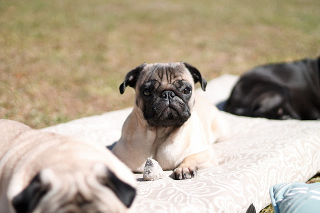 Pug Portraits // Pugs & Pearls Blog
