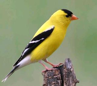 goldfinch eggs