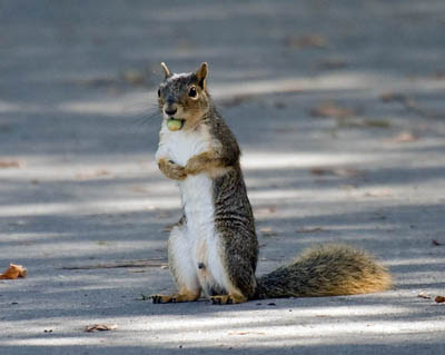Photo of squirrel standing on ground with nut in his mouth