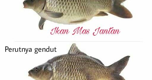 4 Perbedaan Ikan Mas Jantan Dan Betina Paling Mencolok Hobinatang