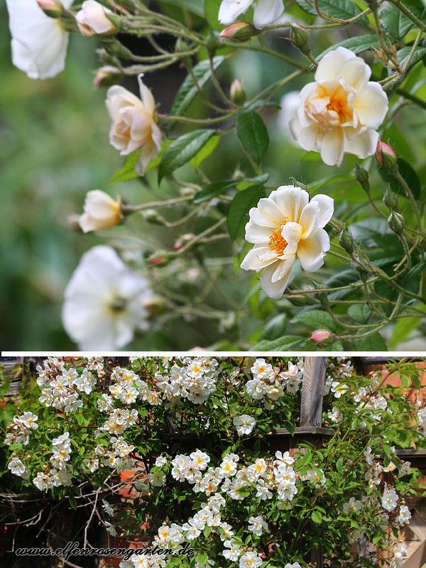 Weißer Garten Sissinghurst elfenrosengarten mein weißer garten