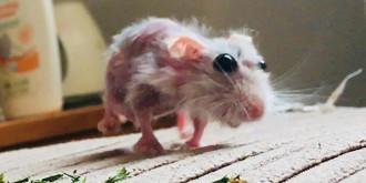 8+ Penyebab Bulu Hamster Rontok beserta Cara Mengatasinya