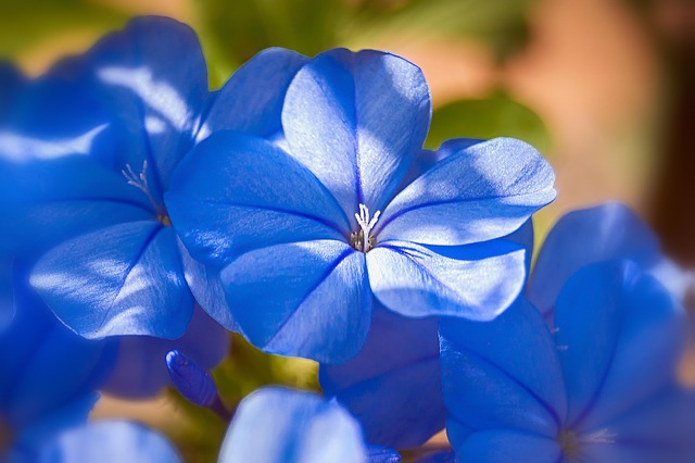 bunga malati