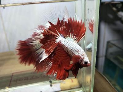 Halfmoon Copper Red White