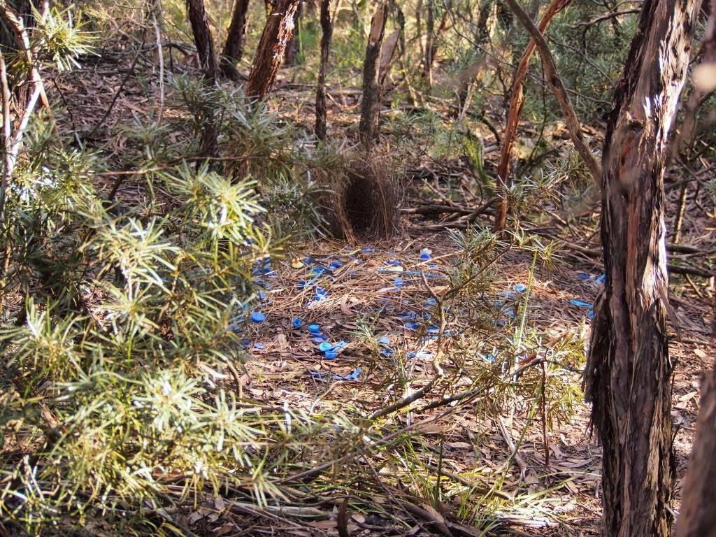 てっちゃんの自然観察記: オーストラリアの生き物 アオアズマヤドリ ...