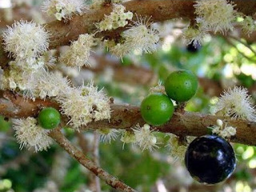 Tanaman Anggur Sabhara Bibit Anggur Pohon JABOTICABA Anggur Brazil Anggur Pohon Banten
