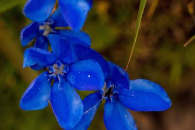 [Gentianaceae] Gentian sp. – Gentian (Genziana)
