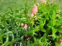 Mengulik Nutrisi dan Manfaat dari Rumput Laut