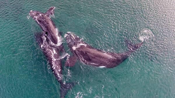 Las ballenas se aparean en Puerto Madryn Espectaculo-Puerto-Madryn-Daniel-Feldman_CLAIMA20150708_0090_28