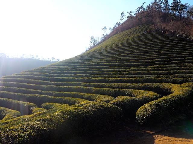 Rows of green tea bushes on the hill in Boseong Green Tea Plantation, South Korea