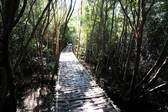 mangrove-karangsong
