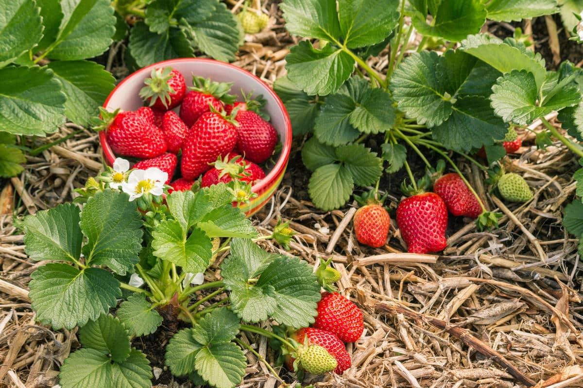 Чтобы клубника была сахарной и сочной: натуральные подкормки во время цветения и формирования плодов