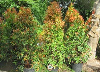 Harga Jual Pohon Pucuk Merah Tinggi 2 Meter Surabaya