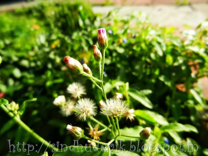 Flowers and flying seeds of Vernonia cinerea (Fleabane)