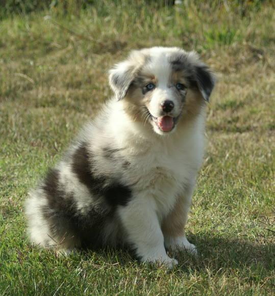 Herding Puppies Pictures
