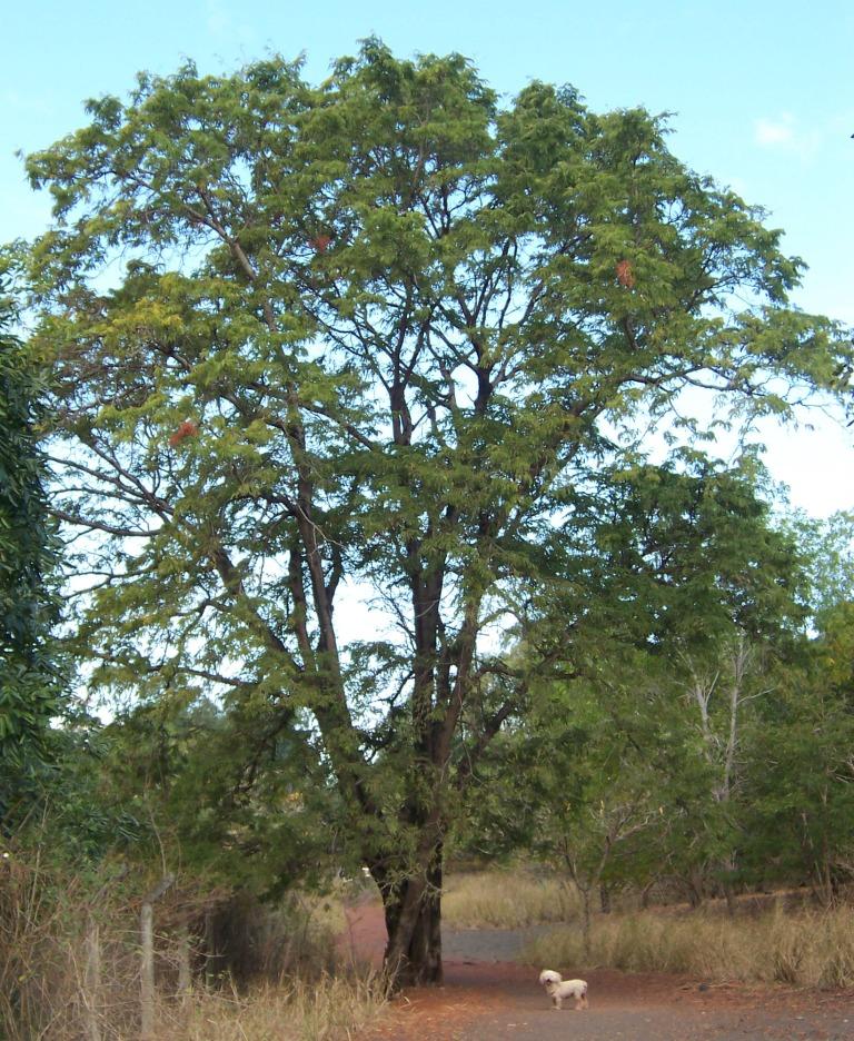Tamarindus_indica_tree Que Es Una Medica De Medicamentos on maricota de pano, calandria amarilla,