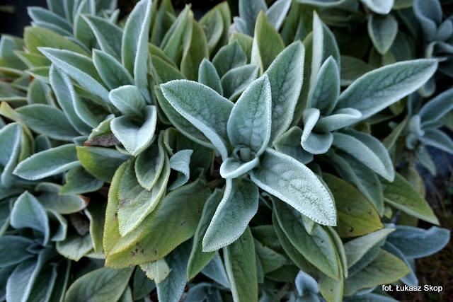 rośliny ogrodowe o popielatych liściach