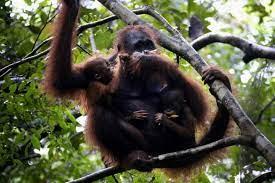 Perilaku Harian orangutan