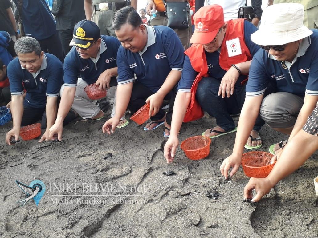 HUT ke-74, PMI Kebumen Lepasliarkan 500 Tukik dan Tanam 5.000 Mangrove