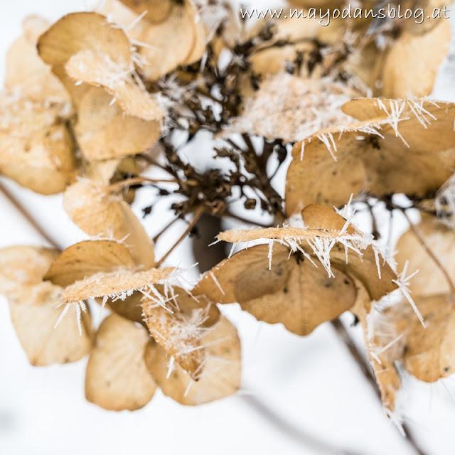 vertrocknete Hortensie mit Frost und Schnee