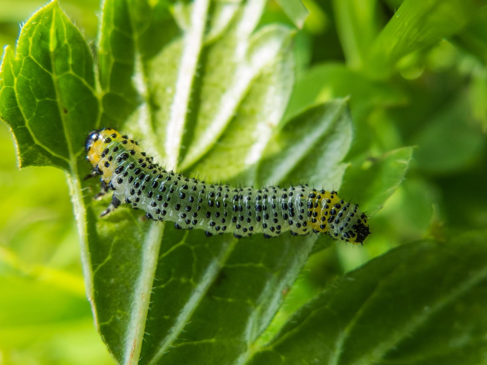 A macro of a Sawfly Caterpillar underneath a Gooseberry leaf.