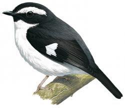 Poecilodryas brachyura
