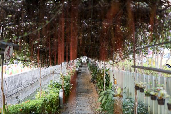 台中大里蒜香藤隧道,中新社區綠色隧道欣賞粉紫色蒜香藤,大元國小旁