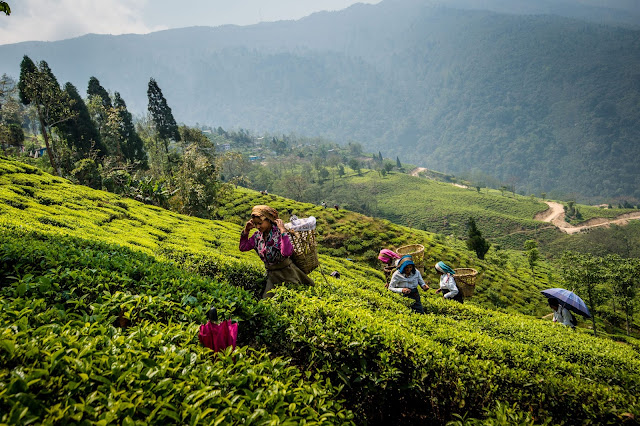 Darjeeling tea gardens seek permission to operate during lockdown