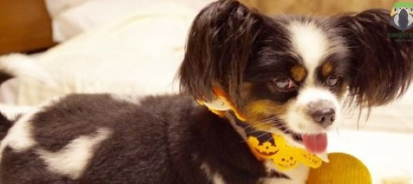 Papillon or butterfly dog, take care of it, its properties and more