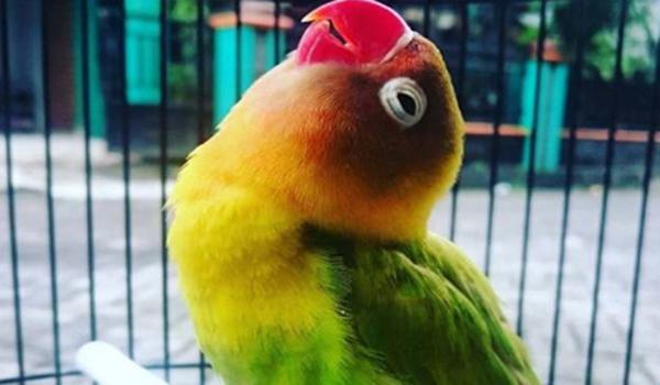masteran murai isian lovebird