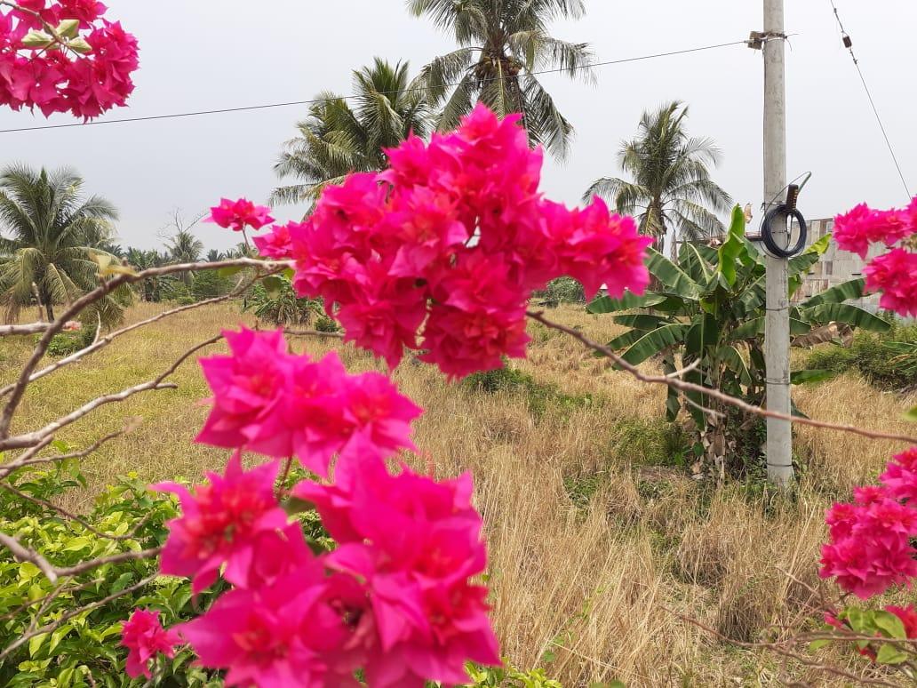 Cara Menanam Dan Merawat Bougenviile Kembang Kertas Aneka Hewan Peliharaan Dan Tanaman Hias Cara budidaya bunga kertas