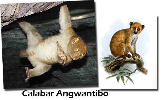 Calabar Angwantibo