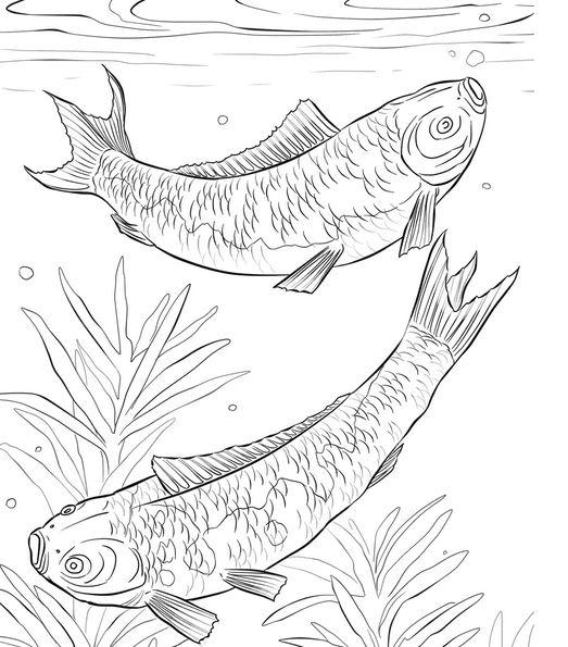 15 Mewarnai Gambar Ikan Mujair Terbaik Lingkar Png