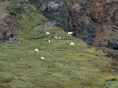 Pack of Dall sheep, a Species of Wild Sheep