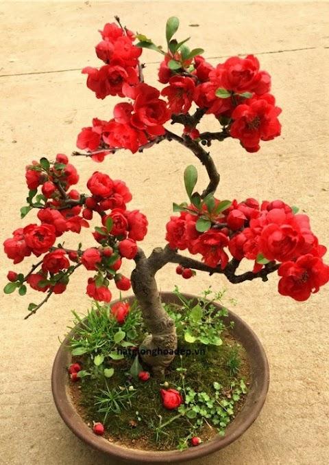 Hoa Mai Đỏ Đẹp