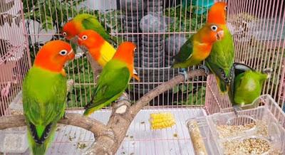 Cara Dan Tips Akurat Memilih Burung Lovebird Ombyokan Yang Prospek Bisa Ngekek Panjang